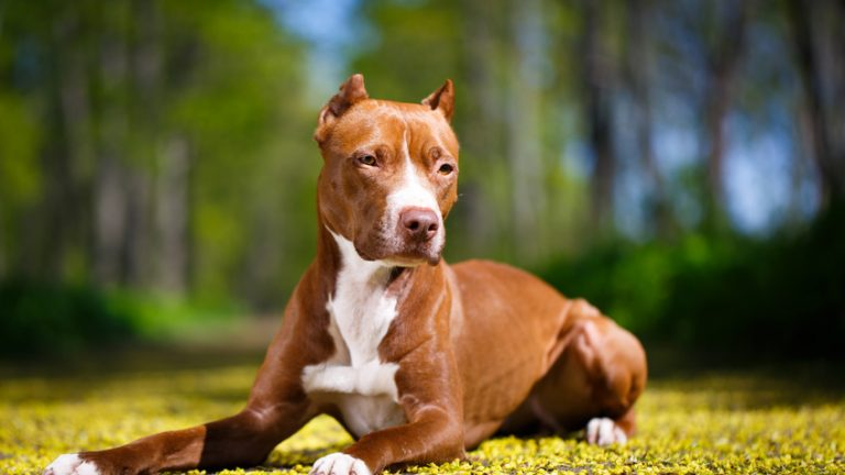 Top 5 Dog Food Recipes For Pitbulls