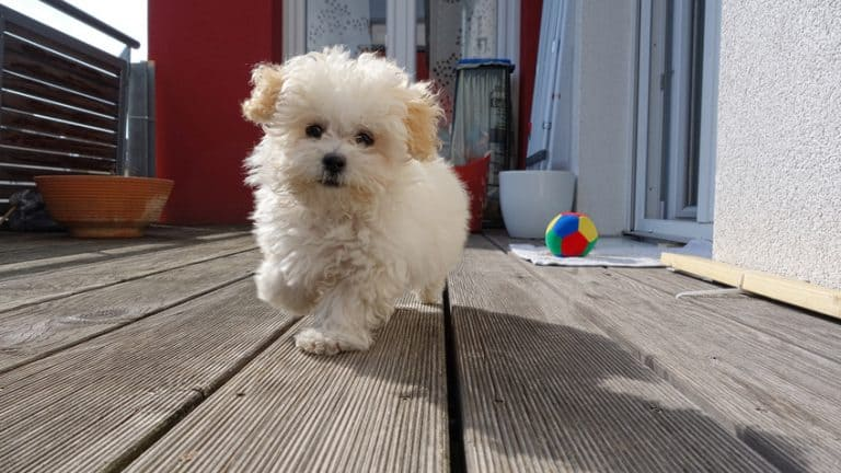 Here Are The 4 Best Dog Foods To Feed A Maltipoo