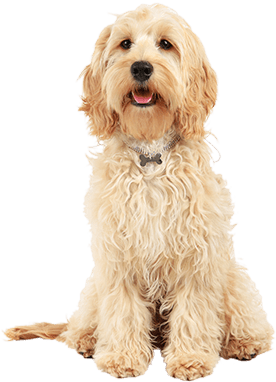 Here Are The 4 Best Dog Foods To Feed A Cockapoo
