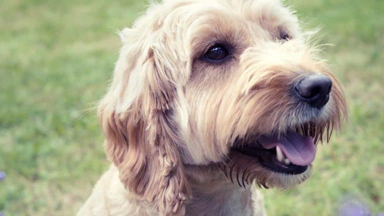 Best Dog Food For Adult Cockapoos