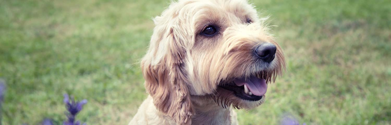 9 Best (Healthiest) Dog Foods for Cockapoos in 2019
