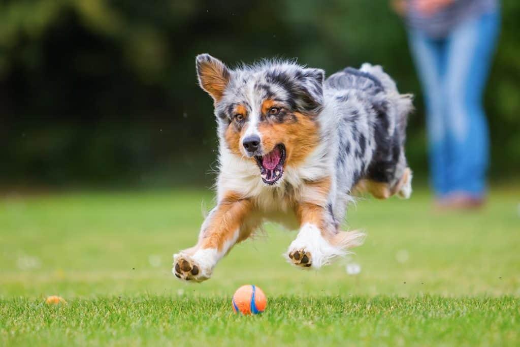 9 Best (Healthiest) Dog Food for Australian Shepherds for 2020