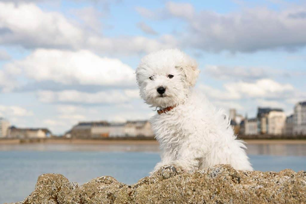 9 Best (Healthiest) Dog Foods for a Bichon Frise in 2020 8