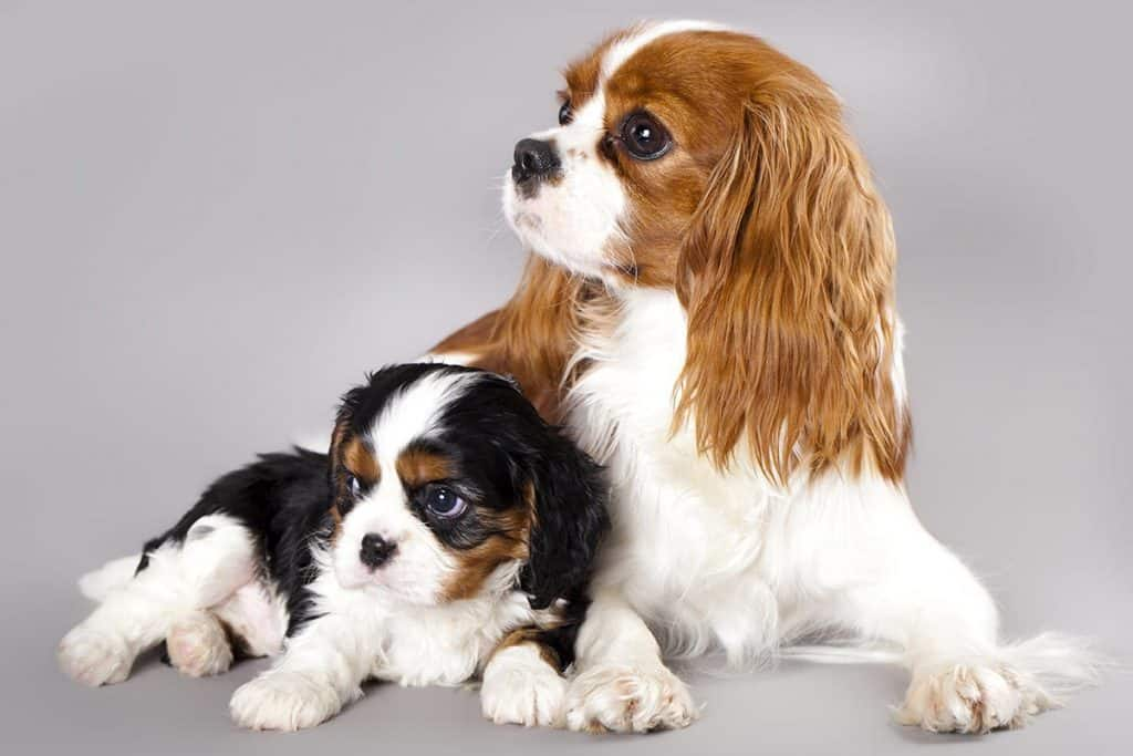 Best Dog Food For Cavalier King Charles Top Puppy Adult Senior