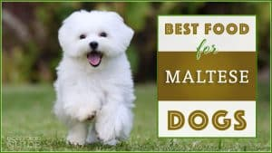 9 Best (Healthiest) Dog Food For Maltese in 2020 8