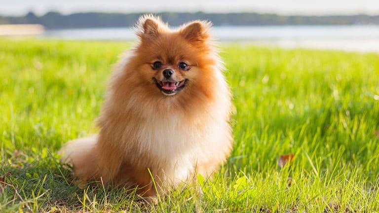 Best Dog Food For Pomeranians Top Puppy Adult Senior