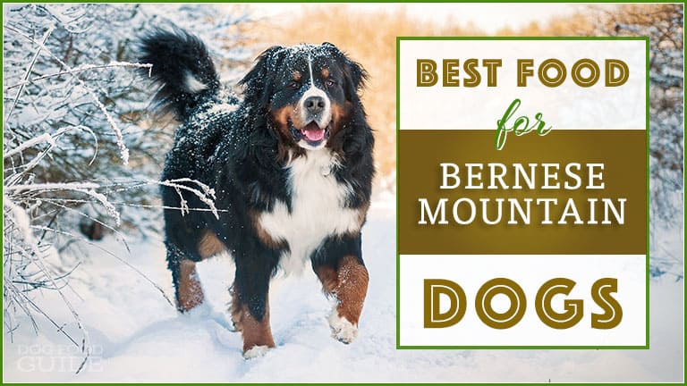 Best Dog Food For Bernese Mountain Dogs Top Puppy Adult