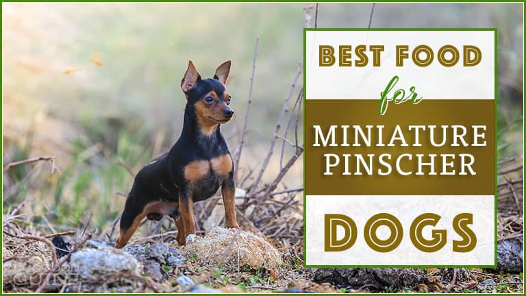 best dog food for miniature pinschers